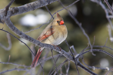 Female Northern Cardinal in Winter