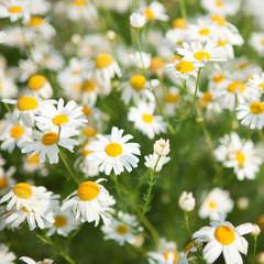 Foto op Canvas Madeliefjes field with daisywheel