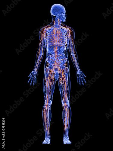 männliche Anatomie mit Lymphsystem\