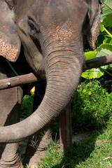 Elefant (thailand-phuket)