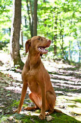 Vizsla Dog Sitting in the Forest
