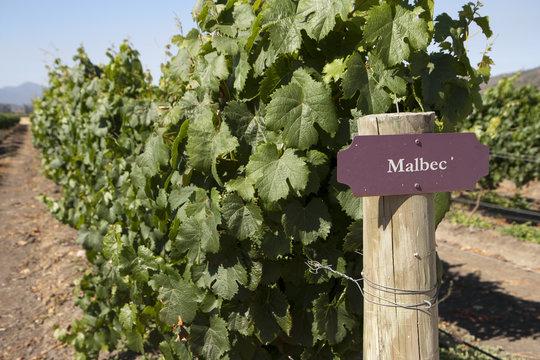 Vineyard - Malbec