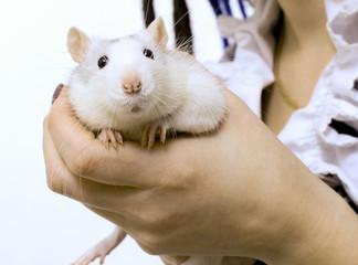 Ручная крыса