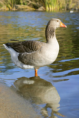 The Graylag goose standing on one leg near pond (Anser anser)