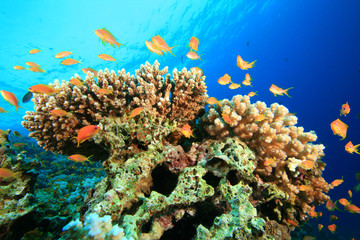Coral Reef and Lyretail Anthias Fish