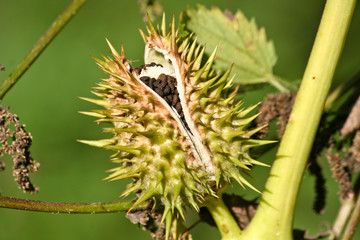 Stechapfel