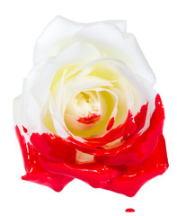 White Rose with red paint isolated on white
