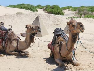 Fotorolgordijn Kameel Camels on the Sand