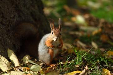 Papiers peints Squirrel squirrel in autumn forest