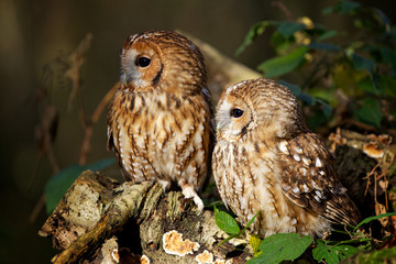 Fototapete - A pair of tawny owls in a wood