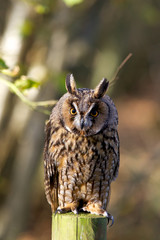 Wall Mural - A long eared owl on a fence post