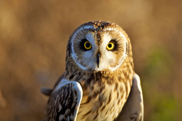 A short eared owl in evening sunlight