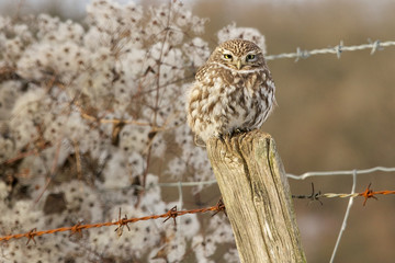Fototapete - A little owl perched on a fence post in winter