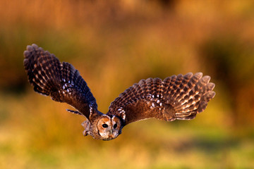 a tawny owl flying in golden evening sunlight