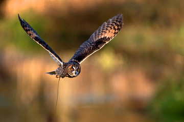 Fototapete - A long eared owl flying