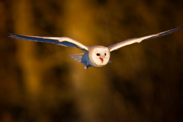 Fototapete - A Barn owl flying in the evening light