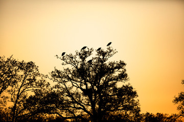 silhouette of herons in a tree with the sunset
