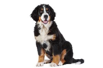Poster de jardin Vache Puppy bernese mountain dog