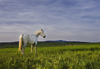 The withe horse