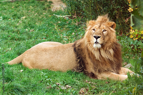 lion couch photo libre de droits sur la banque d 39 images image 29528071. Black Bedroom Furniture Sets. Home Design Ideas