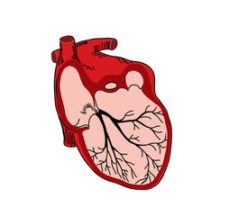 vector illustration of open heart