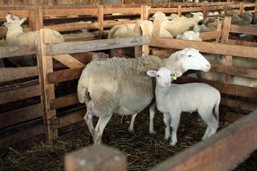 A la bergerie : Brebis et son agneau