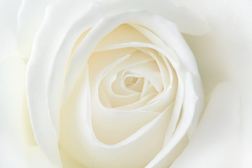 Fragile white rose. Macro.