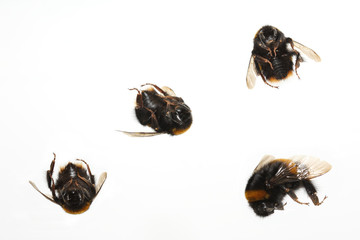 4 dead bumblebees on white