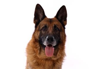 deutscher Schäferhund Hund Kopf Portrait
