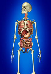 Man anatomy skeleton with internal organs