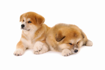 Pets, two Akita inu puppy dogs