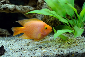 Aquarian small fish Red parrot