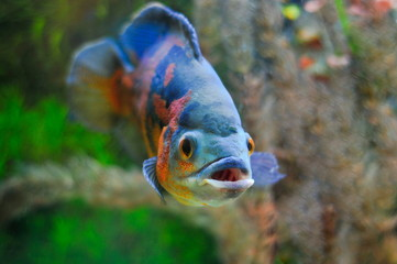 Aquarian small fish Astronotus ocellatus