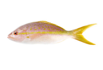 Raw Yellow Tail Snapper Isolated on White