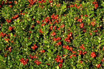 many cranberries in nature