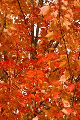 Full Frame Bunch Orange Autumn Maple Leaves Tree