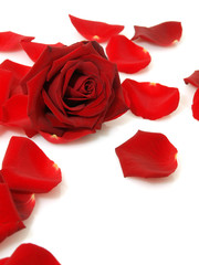 Red rose and petals