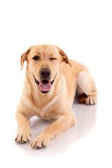 winking labrador retriever