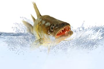 Fische 48