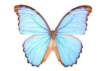 Black and blue butterfly Morpho didius isolated