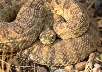 Rattlesnake curled beside a Saskatchewan road