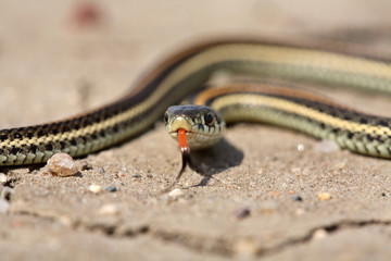 Baby garter snake on a Saskatchewan road