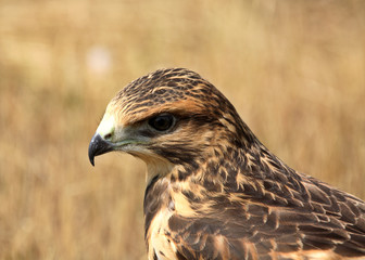 Fledgling hawk on ground in scenic Saskatchewan