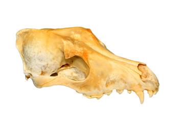 the dog's skull