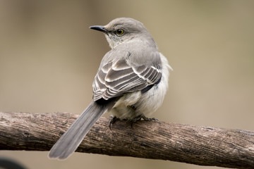 Beautiful mockingbird sitting on tree limb