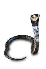 Cobra isolated on white background