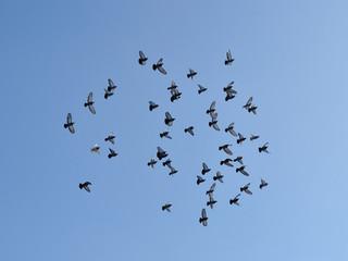 Стая голубей в полёте