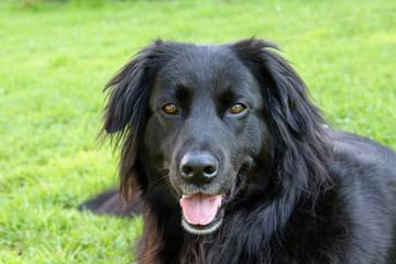 Schwarzer Hund Mischling