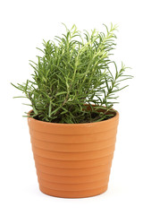 the herb rosemary in a flower pot