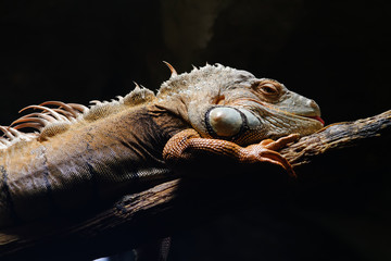 Grüner Leguan, Iguana-Iguana